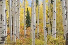 Forêt de Trembles, Montagnes Elk, Colorado 12' x 8' (3,66m x 2,44m)