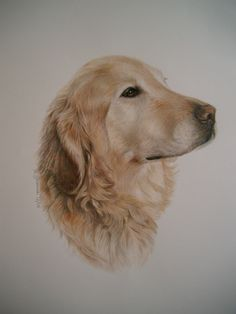 golden retriever in watercolor/colored pencil  commissioned art