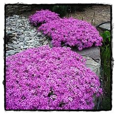 Perennials Creeping Phlox: A spreading, mossy evergreen perennial, blooming extravagantly in spring. This variety tolerates sun well, remaining green throughout the summer and fall. Perennial Ground Cover, Ground Cover Plants, Shade Garden, Garden Plants, Fruit Garden, House Plants, Beautiful Gardens, Beautiful Flowers, Vegetable Garden