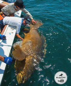 37 Best Big Fish Images Big Fish Fishing Pisces