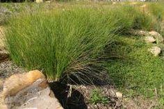 Carex appressa Mix5 Mix6