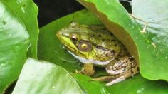Like A Frog In Water Jigsaw Puzzle