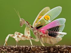Incredible mantis macro
