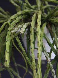 Rhipsalis paradoxa var catenulata (paradoxa ssp. septentrionalis?)
