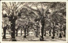Date Palms - Bex Date Gardens Indio California Desert Life, Palm Desert, Indio California, Rancho Mirage, Coachella Valley, Travel Info, Scottish Highlands, Wild West, Palms