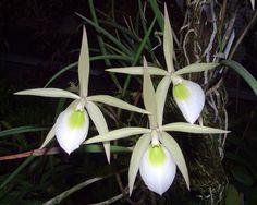 Brassavola flagellaris Orchid