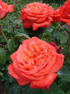 Konigin der Rosen, Kordes