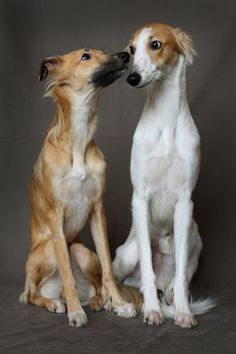 Longhaired Whippet. I didn't know that whippets can have long hair. They look like mini Salukis. I love them.