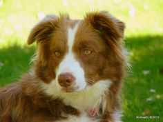 My Eyes Are Colour Co-ordinated... Border Collie - NZ