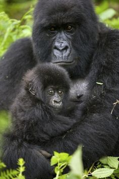 Gorillas are the largest of the great apes. Read article for full credits and photo descriptions. Gorillas In The Mist, Baby Gorillas, Jungle Animals, Animals And Pets, Baby Animals, Primates, Dian Fossey, Silverback Gorilla