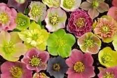 With the odds against her, Joanne Fuller of Portland Oregon turns her problematic sloped shade garden into a winter jewel box of hellebores and Lenten rose hybrids which can all be enjoyed at eye-level while still enjoying her privacy and the little natural light the mature oak trees allow.