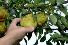 A pear that is allowed to ripen on a tree often has a mealy texture and a soft or mushy core. That's because pears tend to ripen from the in...