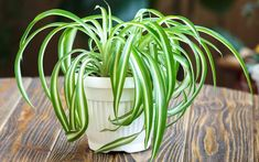 ✅ Guide to Grow Spider Plants ✅ spider plants cats hallucinate? ✅ re spider plants poisonous to humans or pets? ✅ are spider plants poisonous to cats? Gerbera Jamesonii, Feng Shui Indoor Plants, Best Indoor Plants, Cool Plants, Buy Plants, Green Plants, Multiplication Végétative, Aloe E Vera, Chlorophytum
