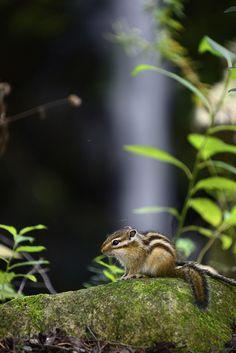 I love chipmunks! Wild Creatures, Woodland Creatures, All Gods Creatures, Woodland Animals, Nature Animals, Baby Animals, Cute Animals, Small Animals, Beautiful Creatures