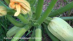 КАК ПОЛУЧИТЬ ОЧЕНЬ МНОГО КАБАЧКОВ С ОДНОГО КУСТА! Patio Images, Patio Pictures, Small Patio Furniture, Fall Pumpkins, Happy Weekend, Gourds, Botanical Gardens, Vegetable Garden, Beautiful Flowers