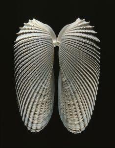 Beautiful set of Angel Wings- Cyrtopleura costata in an artful photograph.