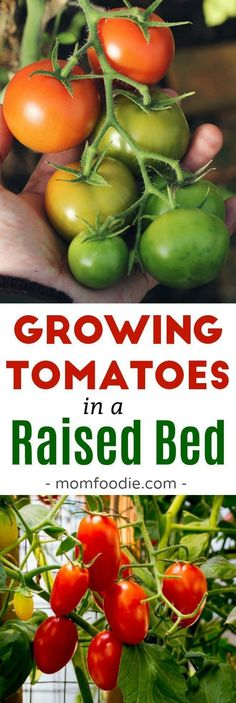 How to Grow Tomatoes in a Raised Bed Garden #garden #gardening #tomatoes #gardeningtips #vegetablegarden #vegetables #growingtomatoesinraisedbed #growingvegetablesinraisedbeds