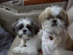 Shih tzu boys...love them lots!