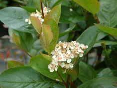 Aronia prunifolia 'Viking' z/hs bl 5 tot 2 mtr h voor haag 3 per meter