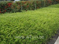Lonicera nitida 'Maigrün' :  Deze kamperfoeliestruik is door zijn breed spreidende groeiwijze, zijn wintergroene loof en zijn snelle groei een ideale bodembedekker. De variëteit Maigrün verkiest een zonnige tot halfbeschaduwde standplaats. Van mei tot juni verschijnen de kleine, onopvallende roomwitte bloemetjes aan de planten. Lonicera verdraagt zeer goed snoei en leent zicht dus als geschoren groen tapijt. Deze soort kan ook als haag gebruikt worden.