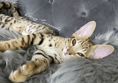 beautiful golden F2 savannah kitten Serval Kittens For Sale, Kitten For Sale, Savannah Kittens For Sale, Savannah Chat, Las Vegas, Exotic, Cats, Animals, Beautiful