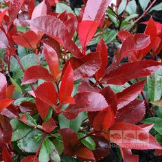 Photinia Red Robin is a glossy leaved small tree with bright red colours in the spring. Buy quality trees online for fast UK delivery with a 2yr guarantee!