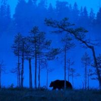 Bear in Misty Woods Photography Tours, Wildlife Photography, Science Nature, Woods, Photographers, Northern Lights, Trees, Gallery, Artist