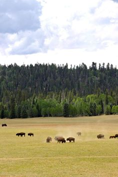 Grazing Bison near the North Rim of the Grand Canyon
