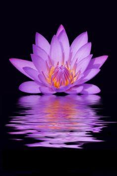 Lotus on water tattoo yoga 1 Lotus Garden, Pink Garden, Exotic Flowers, Amazing Flowers, Lotus Flower Pictures, Buddha Flower, Victorian Flowers, Pink Lotus, Lotus Tattoo