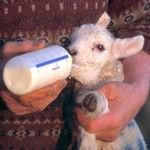 Raising Lambs: colostrum recipe and tips on rejected and orphan lambs.