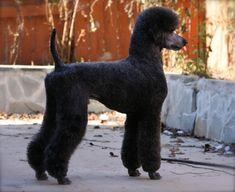 5- star poodles