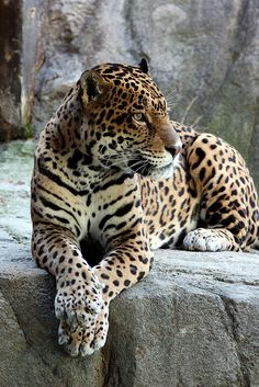 The jaguar ~ am so sorry any of these magnificent creatures live in zoos, but if some didn't, due to what human beings have done to them, doubt many of these animals would still exist on this planet ; (.