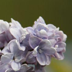 Flieder Syringa vulgaris 'Aucubeafolia' - Blaue Flieder - Flieder-Premium Fliedertraum