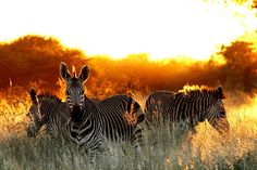 zebras early morning namibia