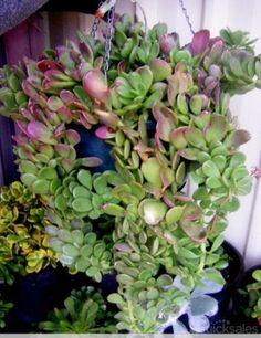 1x Senecio Jacobsenii Trailing Jade plant succulent succulents garden plants hardy drought tolerant plant by waterinc - $6.95