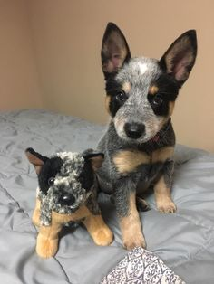 Cute Dogs And Puppies, Baby Puppies, Baby Dogs, I Love Dogs, Doggies, Aussie Cattle Dog, Austrailian Cattle Dog, Cattle Dogs, Poodles