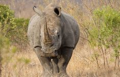 Rhino in Kruger Park #krugerpark #krugerparkrhino #savetherhino