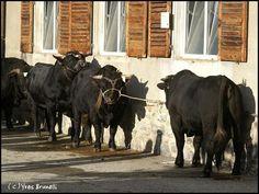 Au mois d'octobre a lieu le marché -concours des taureaux de la race d'Hérens. Les plus beaux sujets et les meilleurs reproducteurs sont présents à cette journée; il est bien clair que si les taureaux n'étaient pas si bien sélectionné nous n'aurions pas...