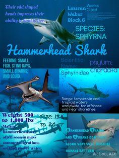 Info-graph of Hammerhead Shark
