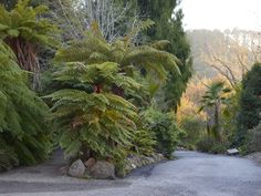 Tree ferns in the UC Botanical Garden at Berkeley. Photo by Marion Brenner.