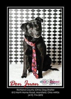 Don Juan - Urgent Black Labrador Retriever Mix • Adult • Male • Large Richland County Dog Warden Mansfield, OH I came to the shelter as a stray on 2/5/14. I was pretty scared when I first got here, ...
