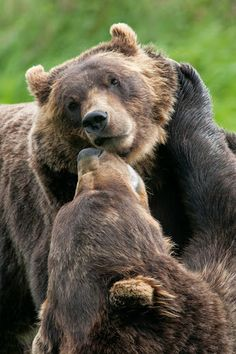 Brown Bears l Wildlife Photography Wildlife Photography, Animal Photography, Gopro Photography, Portrait Photography, Wedding Photography, Beautiful Creatures, Animals Beautiful, Beautiful Things, Animals And Pets