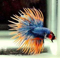 Betta fist are a fun beautiful fish that many people can have in their home with minimal effort. Betta Tank, Fish Tank, Betta Fish Types, Beta Fish, Fish Fish, Fishing World, Salt Water Fish, Cool Fish, Siamese Fighting Fish