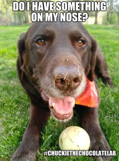 An image tagged chuckie the chocolate lab teamchuckie Cute Animal Memes, Funny Animals, Cute Animals, Animal Funnies, Baby Animals, Best Dog Food, Best Dogs, Golden Labrador, Food Lab