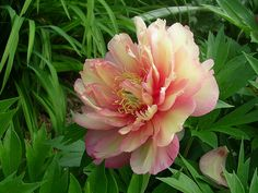 awed by the amazing beauty of tree peonies, such as this Itoh Tree Peony 'Julia Rose'. I have many of these in my yard, needing some years . Exotic Flowers, Amazing Flowers, Beautiful Flowers, Beautiful Gorgeous, Purple Flowers, Tree Peony, Peony Flower, Peony Plant, Cactus Flower