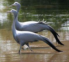 The Blue Crane also known as the Stanley Crane and the Paradise Crane, is the national bird of South Africa/ Африканская красавка, или райский (четырёхкрылый) журавль, или журавль Стэнли считается национальной птицей Южно-Африканской республики.