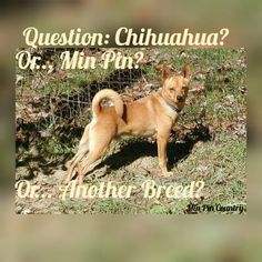 For the Chihuahua/Min Pin debate, I offer this...  #Breed #debate #Chihuahua #minpin #dogs #family #MinPinCountry