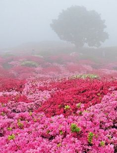 Oh my goodness! Look at all those pink azaleas in the fog with the tree in the background in the fog! Cool fog and LOTS of pink azaleas! Beautiful World, Beautiful Gardens, Beautiful Places, Beautiful Pictures, Pretty In Pink, Beautiful Flowers, All Nature, Plantation, Beautiful Landscapes