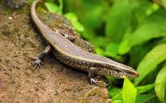 Find images of Iguana Reptil. ✓ Free for commercial use ✓ No attribution required ✓ High quality images. Reptiles, Amphibians, Red Eyed Crocodile Skink, Lizard Eye, Colorful Lizards, Lizard Species, San Diego Zoo, Desktop Pictures