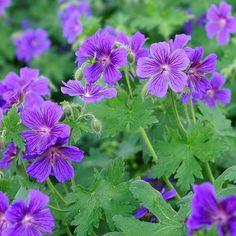 Storkenebb – planteguide   Plantasjen Bath Decor, Geraniums, Garden Art, Beautiful Flowers, Herbs, Google, Green, Plants, Inspiration